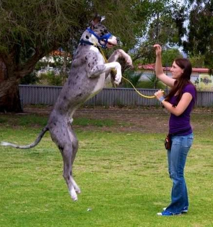 Banana Great Dane having a big jump