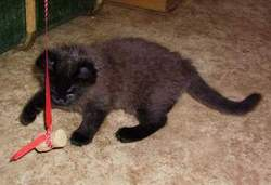 Moscow cat as a kitten playing
